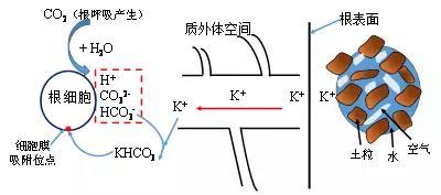 602根是如何吸收養分過程圖5
