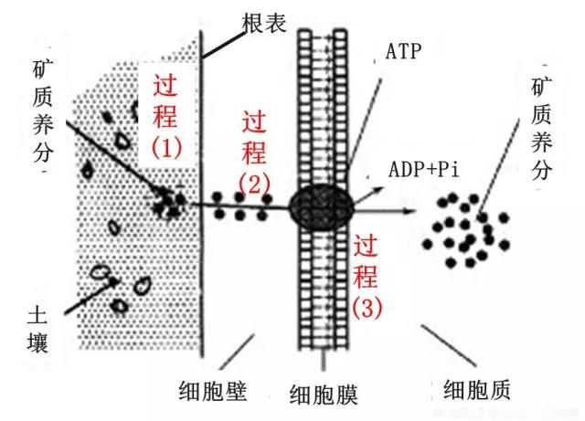 602根是如何吸收養分過程圖