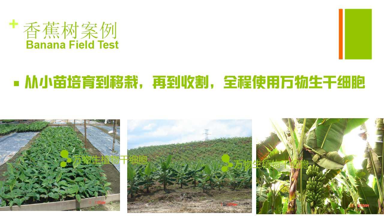 德赢Vwin在雲南省平壩做的香蕉試驗案例-1