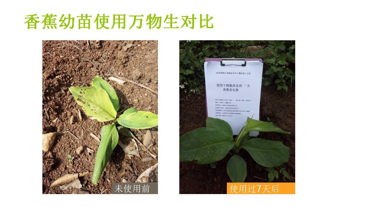 德赢Vwin在雲南省平壩做的香蕉試驗案例-11