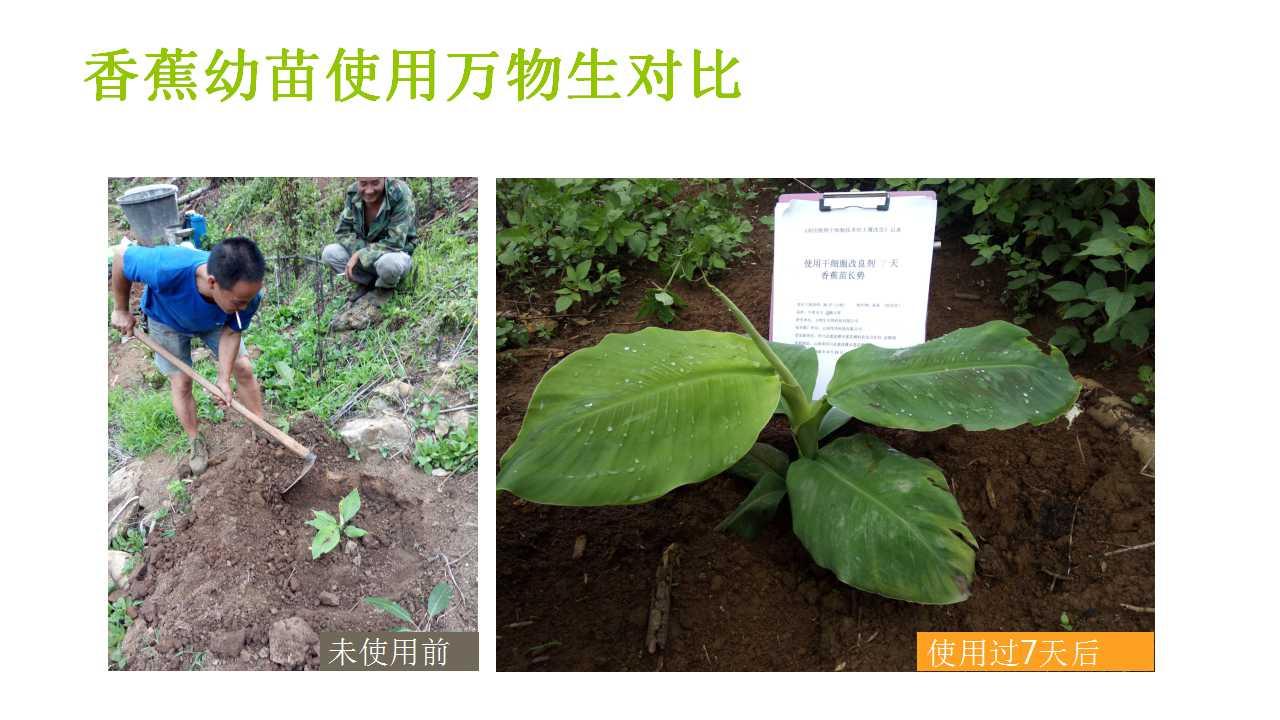 德赢Vwin在雲南省平壩做的香蕉試驗案例-12