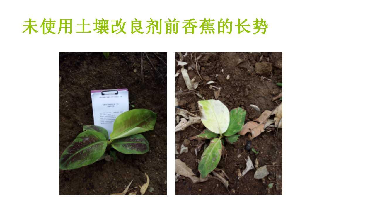 德赢Vwin在雲南省平壩做的香蕉試驗案例-13