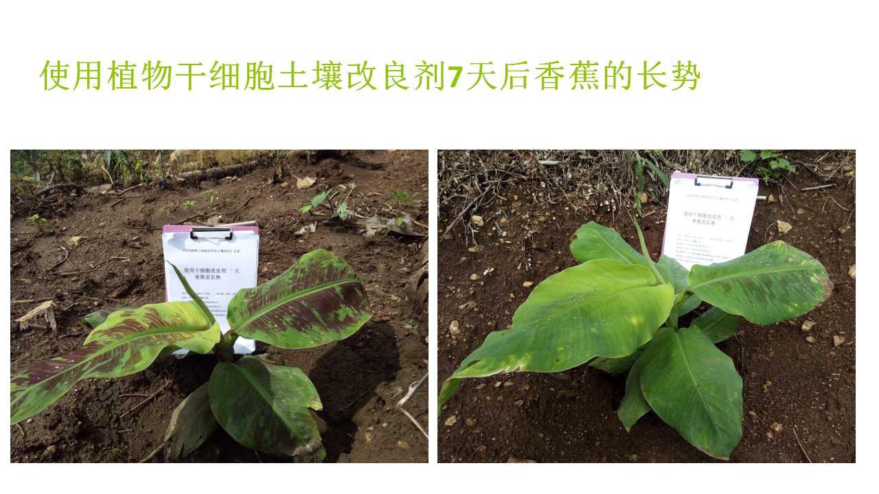 德赢Vwin在雲南省平壩做的香蕉試驗案例-14