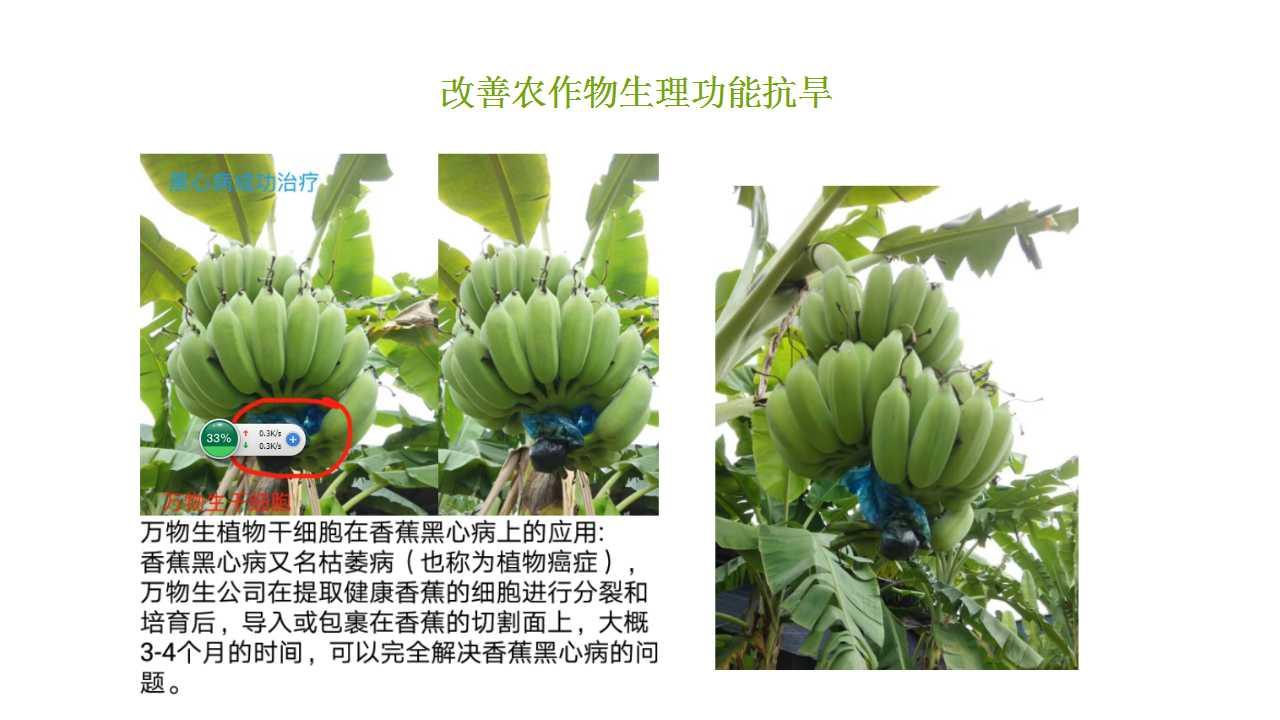 德赢Vwin在雲南省平壩做的香蕉試驗案例-2