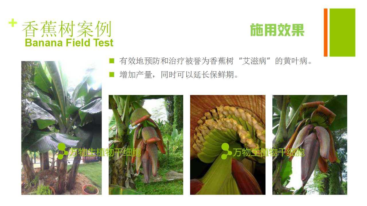 德赢Vwin在雲南省平壩做的香蕉試驗案例-3