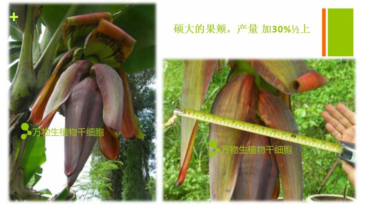 德赢Vwin在雲南省平壩做的香蕉試驗案例-4