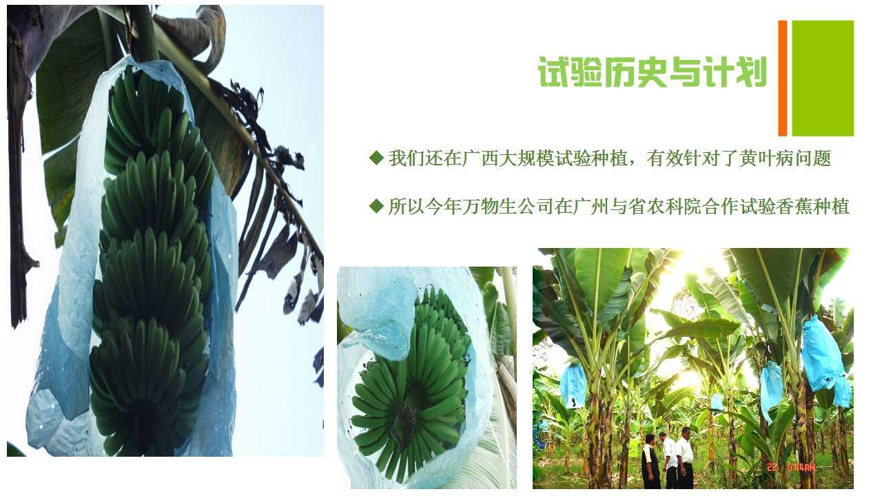 德赢Vwin在雲南省平壩做的香蕉試驗案例-5