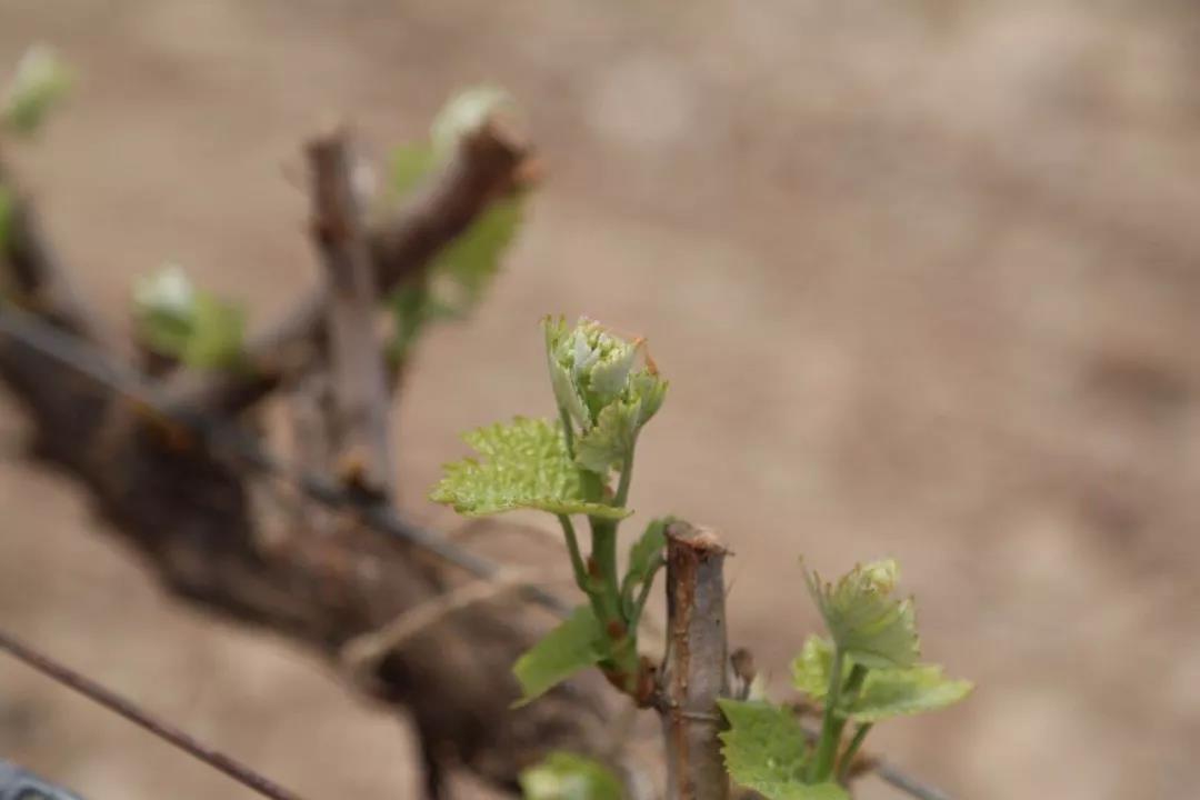 国际媒体盛赞西鸽酒庄的葡萄酒数据运用,品质保障从种植做起-5