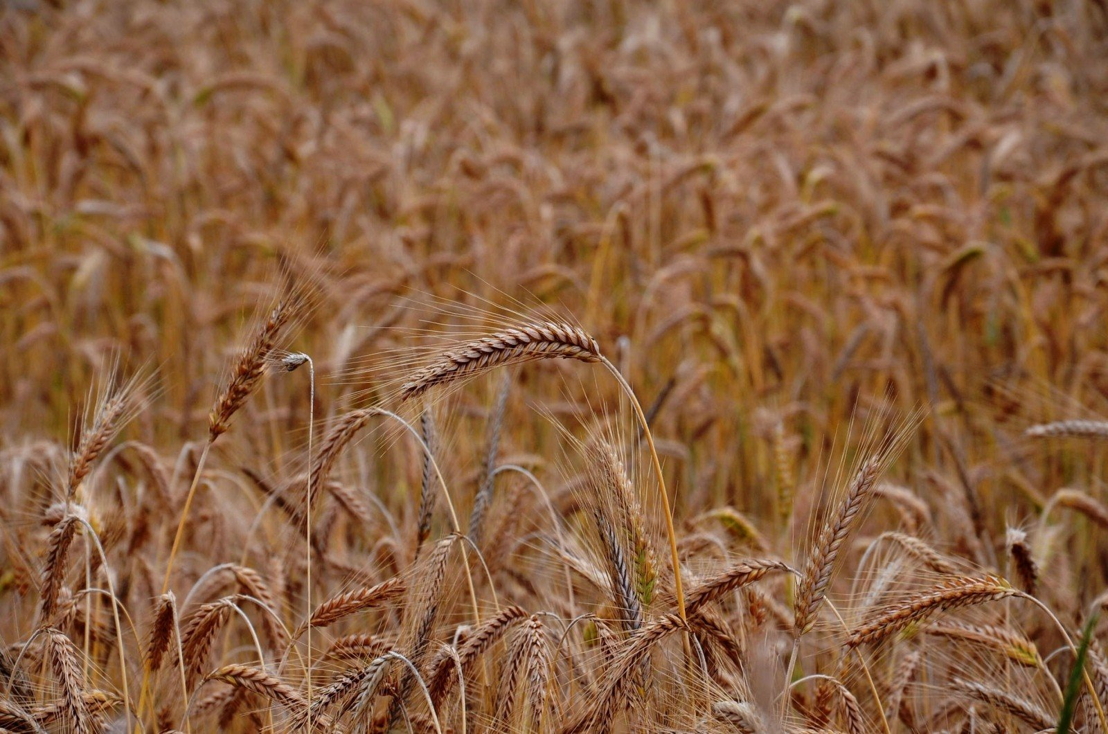 field-agriculture-wheat