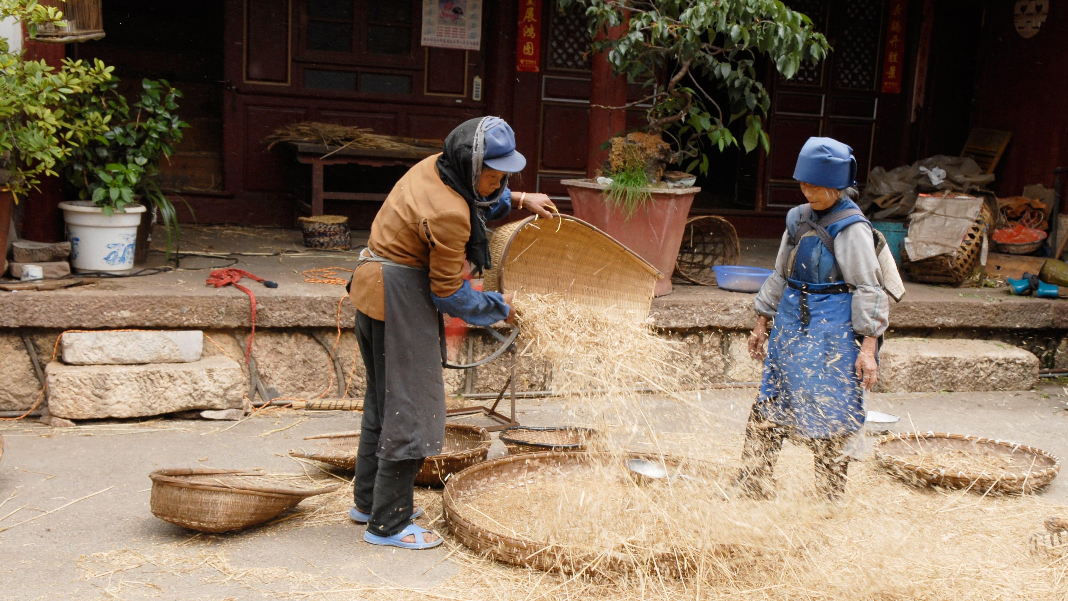 china-agriculture-harvest-hand-labor-108e4b6c7758b4e892da4c403579b782