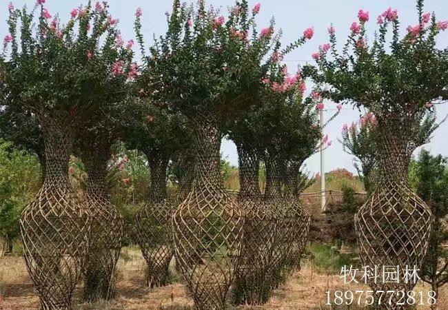 牧科园林紫薇花瓶基地
