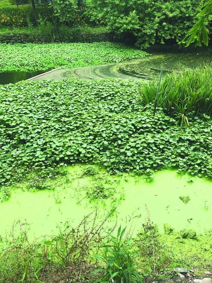 葭沚泾部分河水发臭,死鱼漂浮,水质变差