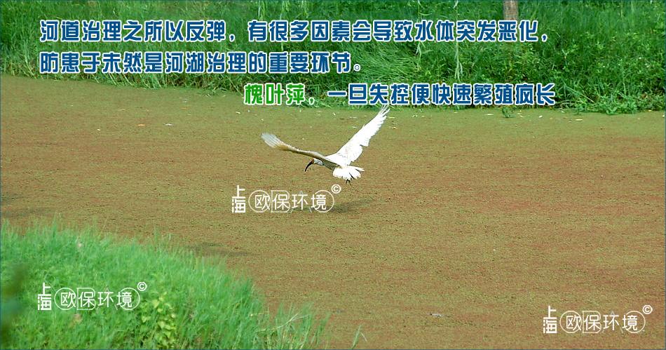 槐叶萍一旦失控便快速繁殖疯长,防患于未然是河湖治理的重要环节,这些因素会导致水体突发恶化,导致河道反弹-2