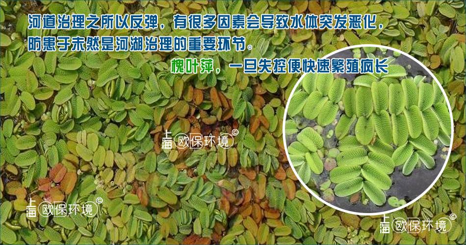 槐叶萍一旦失控便快速繁殖疯长,防患于未然是河湖治理的重要环节,这些因素会导致水体突发恶化,导致河道反弹-5