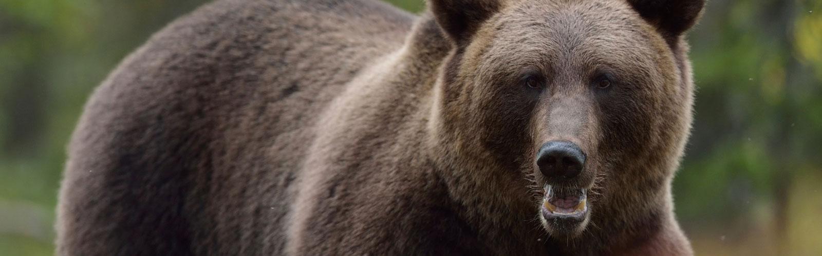 bear-header