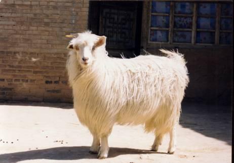 白绒山羊2