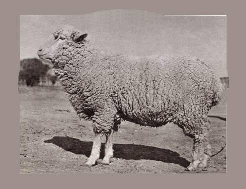 陕北细毛羊母羊