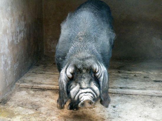 成年八眉猪