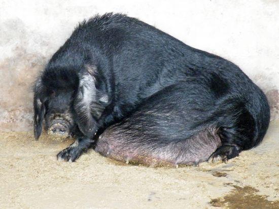 怀孕八眉母猪