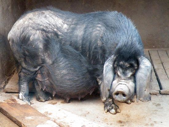怀孕八眉母猪1