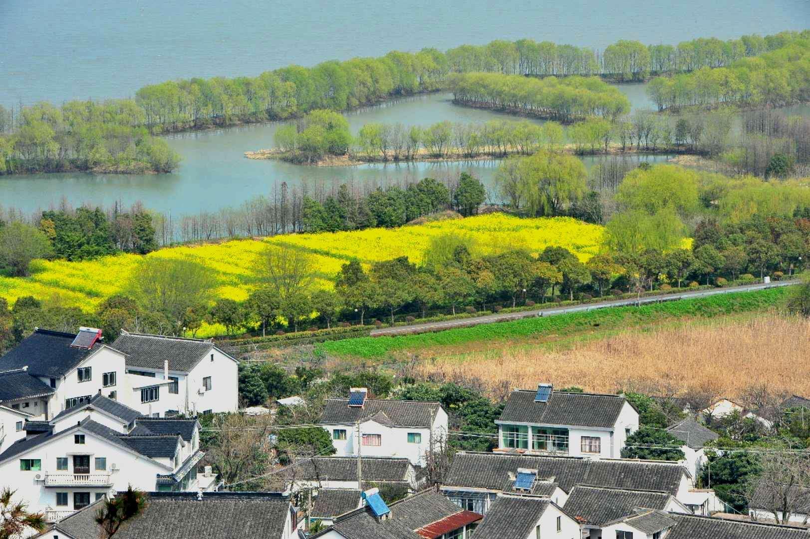 太湖三山岛国家湿地公园油菜花