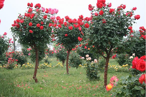 树状月季之2公分树状月季