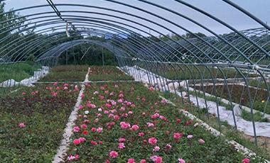 龙八国际盆花月季基地��景�D