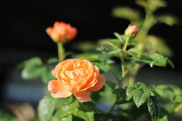盆花月季之果汁阳台