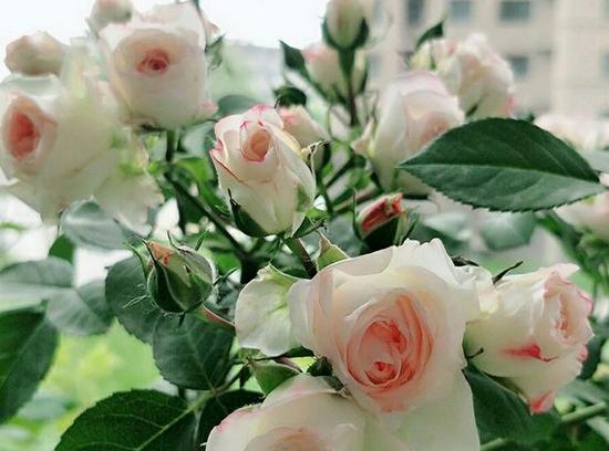 盆花月季之可爱多