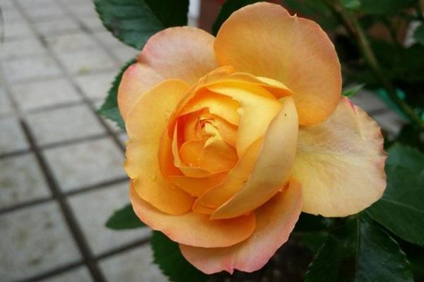 盆花月季之浪漫宝贝