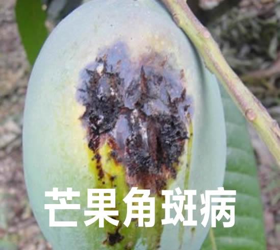 芒果的角斑病症怎么防治?