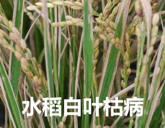 水稻白叶枯病怎么治疗?