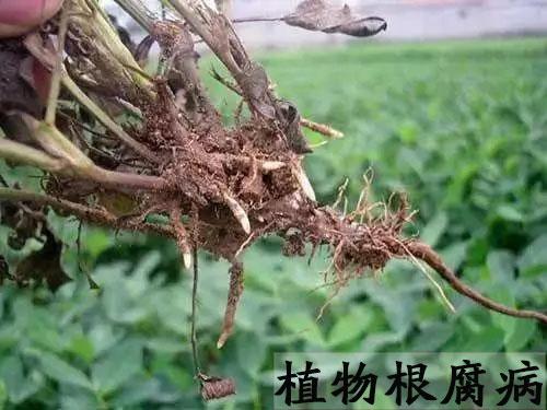 乙蒜素能治根腐病嗎?乙蒜素能治什么植物病蟲害?